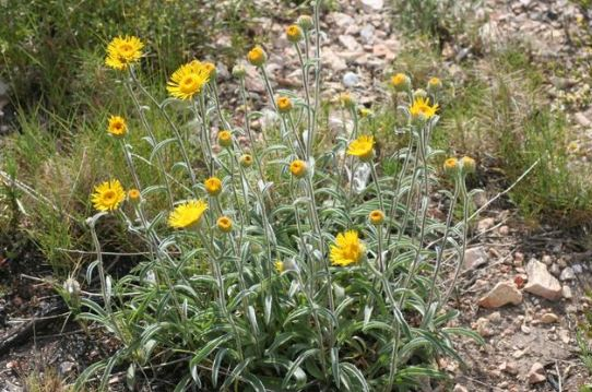 Inula_montana_general_vue1