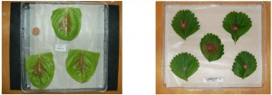 Tests d'inoculation sur des feuilles détachées de laitue et fraisier par Botrytis cinerea. (J. Aarrouf et L. Urban)